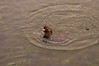 Scarred Otter3