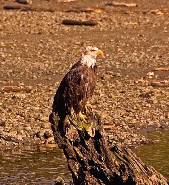 Almost Mature Eagle