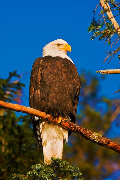 Eagle in Sun