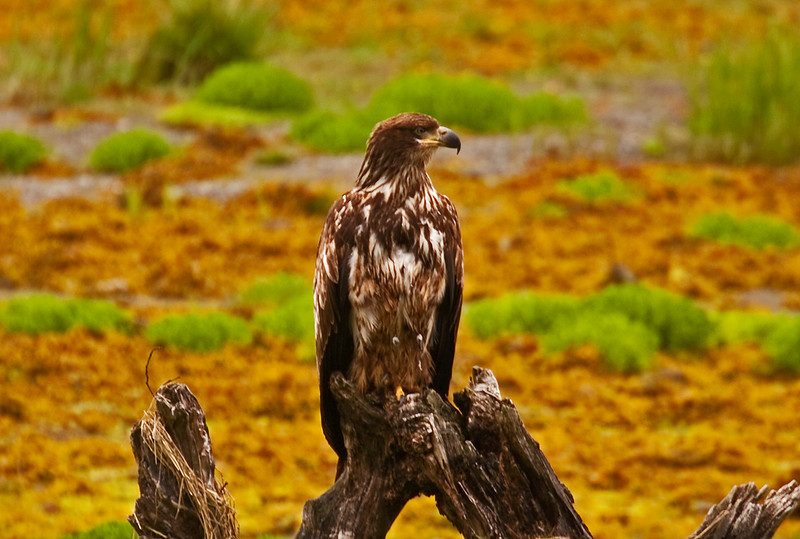 Young Eagle6-9-09