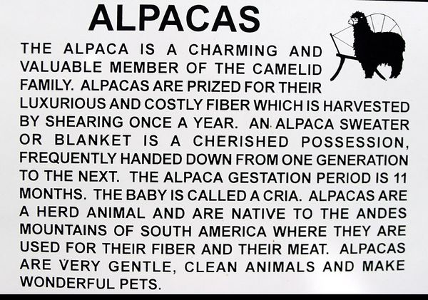 alpaca-04-28-9061