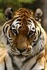 tiger2020