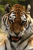 tiger2019
