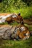 tiger8660
