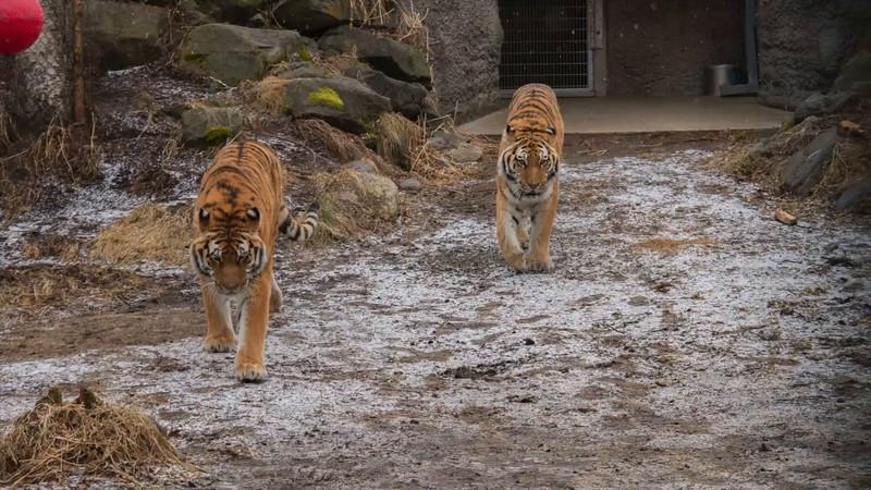 2015 tiger enrichment