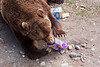 It was enrichment day for the brown bears.
