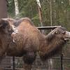 camel 3907