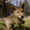 coyote 05