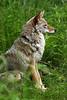 coyote4664