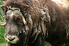 Maxine the Musk Ox.