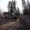 musk ox run