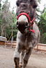 """The Alaska Zoo has a new addition to our petting zoo, Sarah the miniature donkey.  Sarah came from Bob Twaite's Farm in Hope Alaska.  She is 6 years old and measures 32"""" at her shoulder.  While the goats are hesitant, she seems to like her new digs and is already enjoying the company of many visitors."""