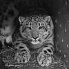 snow_leopard 0526