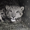 snow_leopard 9050