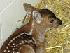 "This 12 day old fawn came to the zoo from Juneau where she was found orphaned.    <font size=3>To view my video of her <a href=""http://www.youtube.com/watch?v=sbwh0vyLr-Y""><font color=""red"">click here</font color></a>.</font size>"