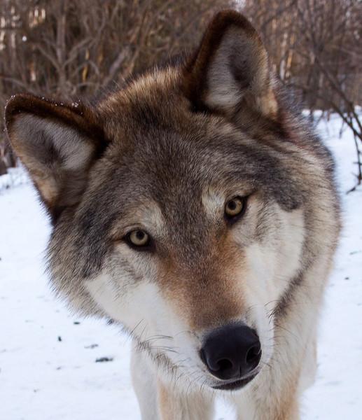 wolf_3940