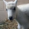 08_mtn_goat433
