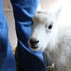 08_mtn_goat425