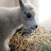 08_mtn_goat430