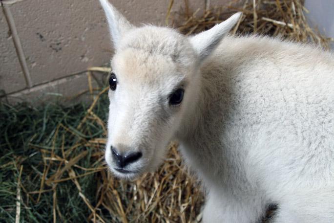 08_mtn_goat400