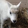 08_mtn_goat403