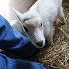 08_mtn_goat422