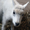 08_mtn_goat416