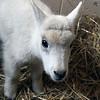 08_mtn_goat408