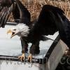 eagle_5911