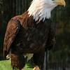 eagle9675 (1)