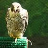 peregrine falcon cry