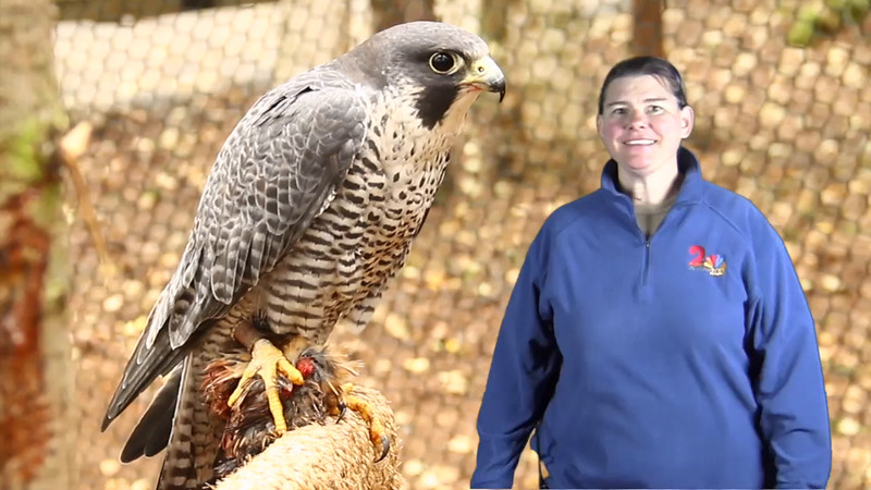 This may look a little strange as it was my first attempt at using a green screen image, and our curator was not in the enclosure with the hawk.