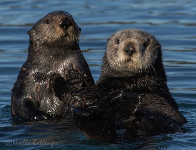 Sea otter seem as curious about us as we are about them