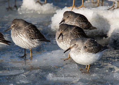Rock sandpipers on ice