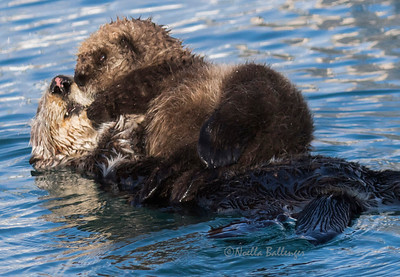 Otter mother cuddles and carries baby