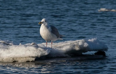 Bird catching a ride on an ice floe in Kachemak Bay, Homer