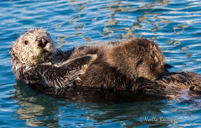 Nursing baby otter