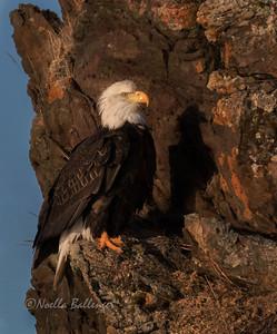 Eagle on cliff edge -  Kachemak Bay, Alaska