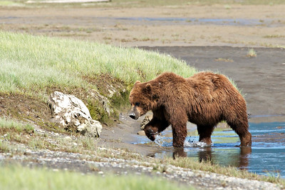 Brown Bear, Katmai NP