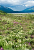 Wild flowers on Denali's valley floor.
