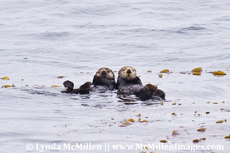 Sea Otters Two