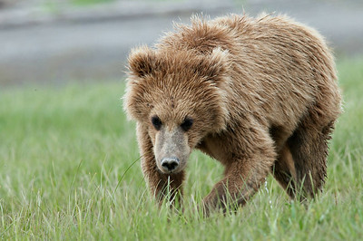 Yearling Brown Bear Cub