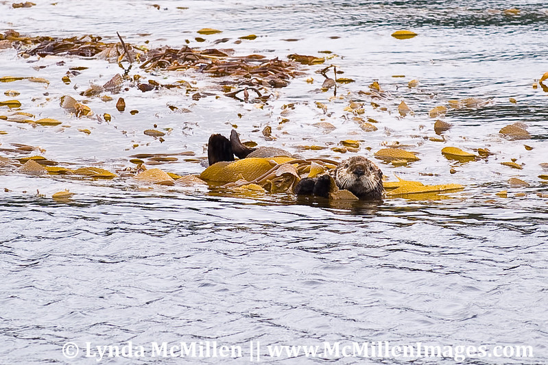 Sea Otter wrapped in seaweed so it won't float away.