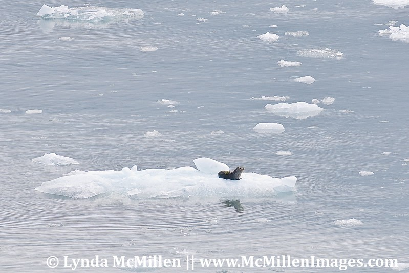 Baby seal on ice float.