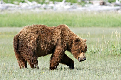 Brown Bear in Meadow