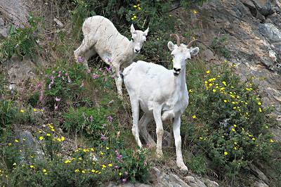 Dall Sheep Ewe with Lamb