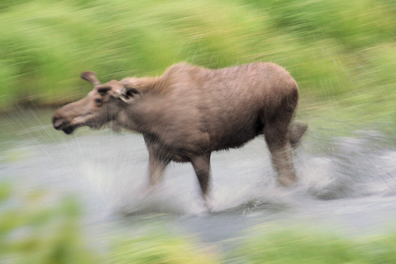 A cow moose makes her own shower, near Anchorage.