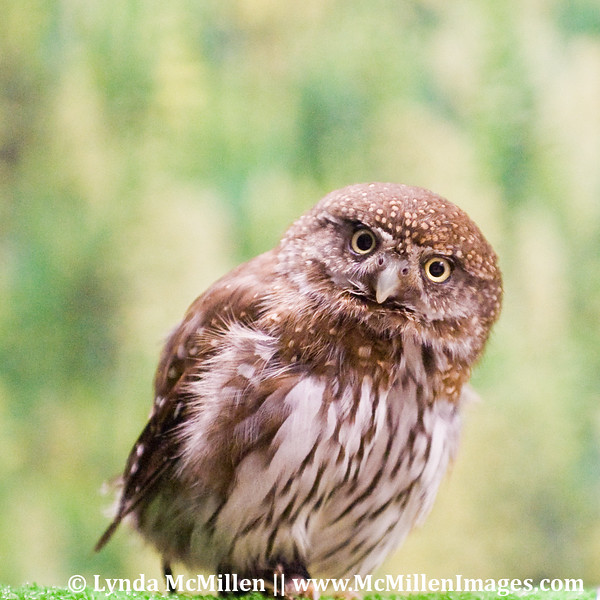 A Northern Saw-whet Owl,