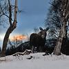 Smiling AK Moose