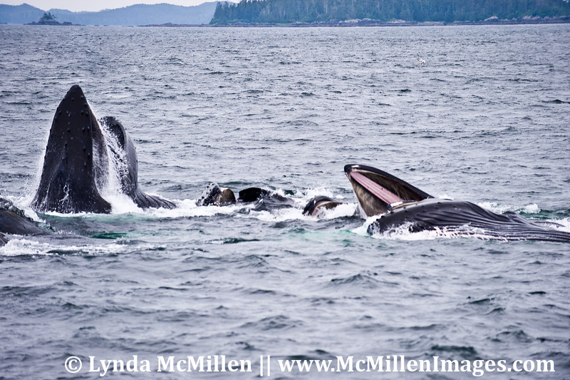 Humpbacks Feeding #2